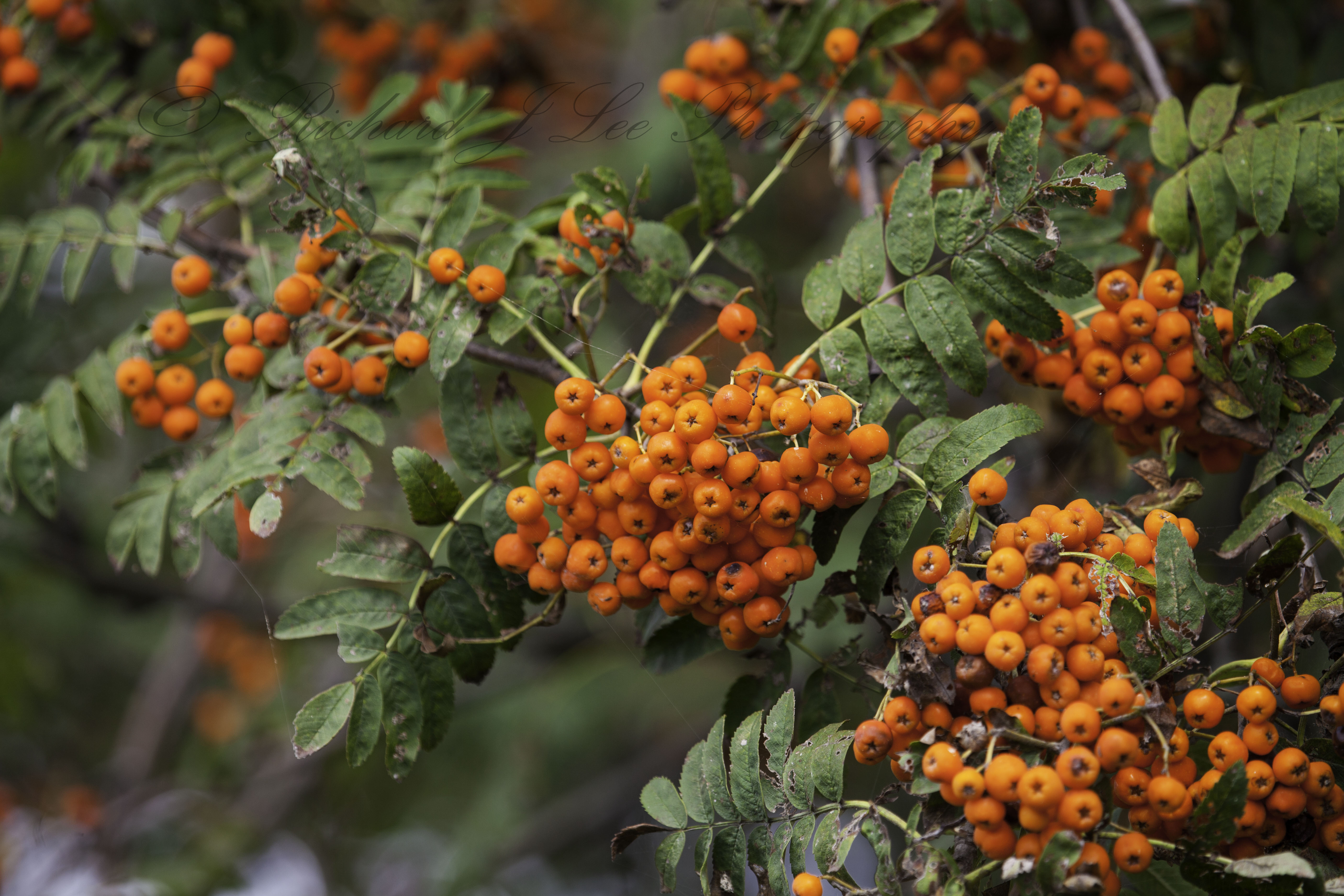 It is a rowan tree or mountain ash there now we both know